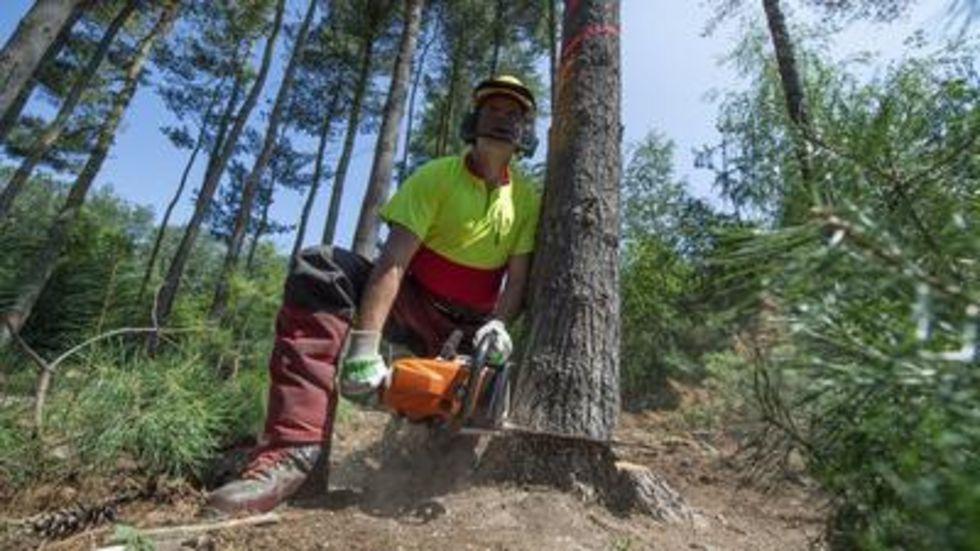 Ein Forstarbeiter beim Fällen einer geschädigten Kiefer. © dpa